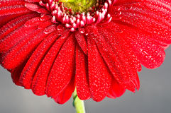 Red gerbera flower closeup Royalty Free Stock Photography