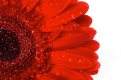 Red gerbera flower closeup. Red gerbera flower with water droplets closeup on white background Royalty Free Stock Image