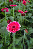 Red Gerbera flower with a dark heart growing in a nursery Royalty Free Stock Photos
