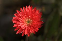 Gerbera flower. Red gerbera flower depicting happy life Stock Photo