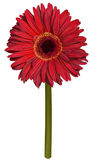 Red gerbera flower drawing Royalty Free Stock Photo