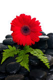 Red gerbera flower and fern on black zen stone Royalty Free Stock Images
