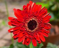 Red gerbera flower. A full bloomed red gerbera flower in nature background Stock Photo