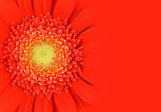 Red Gerbera Flower with Gradient Royalty Free Stock Images