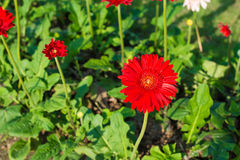 Red Gerbera flower on green Stock Photography