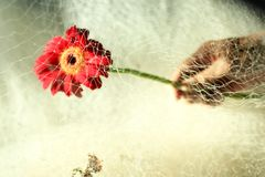 Red gerbera flower head in hand, cover with fishing net. stock photo
