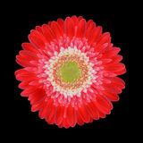 Red Gerbera Flower Head with White Center Isolated Stock Images