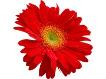 Red Gerbera Flower isolated with PNG format. Red Gerbera Flower isolated with white background with PNG format royalty free stock photo