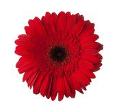 Red Gerbera flower isolated on white background Stock Image