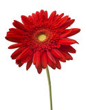 Red Gerbera flower isolated on white background.  Stock Photos