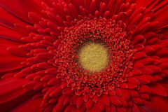 Red Gerbera flower isolated on white background Stock Photos