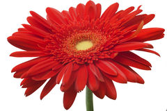 Red Gerbera flower isolated on white background Royalty Free Stock Image
