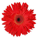 Red Gerbera Flower Isolated Stock Photos