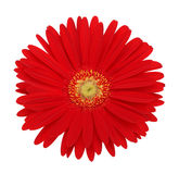Red gerbera flower. Isolated on whute royalty free stock images