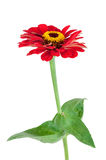 Red Gerbera flower with leaves on white background Royalty Free Stock Image