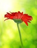 Red gerbera flower Royalty Free Stock Image