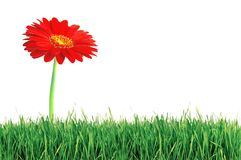 Red gerbera flower over green grass over white Royalty Free Stock Image