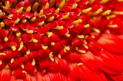 Red Gerbera Flower Polen Stock Image