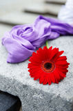 Red gerbera flower and purple scarf Royalty Free Stock Photo