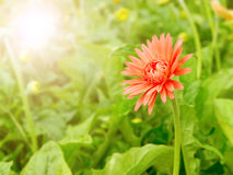 Red gerbera flower in summer morning time Stock Photography