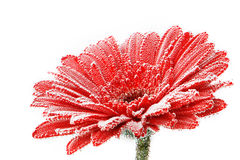 Red gerbera flower with water drops. Closeup. Stock Photo