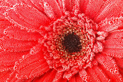 Red gerbera flower with water drops. Closeup. Royalty Free Stock Images