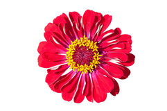 Red Gerbera flower on white background Stock Images