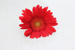 Red gerbera flower Stock Photos