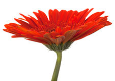 Red gerbera flower on white Royalty Free Stock Photos