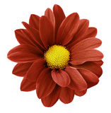Red gerbera flower.  White isolated background with clipping path.   Closeup.  no shadows.  For design. Stock Photos