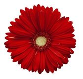 Red Gerbera Flower, White Isolated Background With Clipping Path.   Closeup.  No Shadows.  For Design.