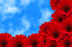 Red Gerbera flowers Stock Photo