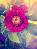 Red gerbera in flowers bouquet Stock Image
