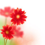Red gerbera flowers  isolated on white Royalty Free Stock Photography