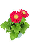 Red gerbera flowers in a pot Royalty Free Stock Images