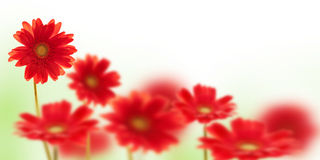 Red gerbera flowers on white Royalty Free Stock Photo