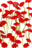 Red Gerbera flowers on white Royalty Free Stock Image