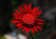 Red gerbera in full bloom in winter