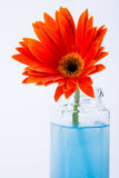 Red gerbera in glass bottle Stock Photography