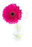Red gerbera in a glass vase Stock Photo