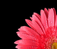 Red gerbera isolated Royalty Free Stock Images