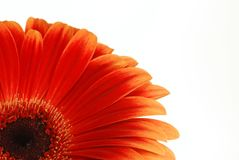 Red gerbera isolated on white. Background Stock Photo