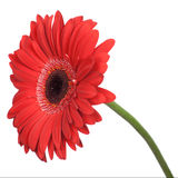 Red gerbera isolated Stock Images