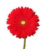 Red gerbera Stock Photos