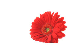 Red Gerbera Lying On White Copyspace Royalty Free Stock Photos