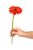 Red gerbera in male hand Stock Images