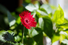 Red gerbera petals on green bokeh background. Red gerbera petals on green bokeh green background stock photography