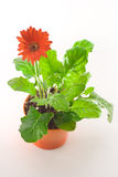 Red Gerbera in Pot. Top view of red gerbera plant with the flower in focus, on white background Royalty Free Stock Photo
