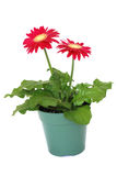 Red gerbera in a pot Royalty Free Stock Photo