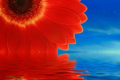 Red gerbera with reflection. In water Royalty Free Stock Image
